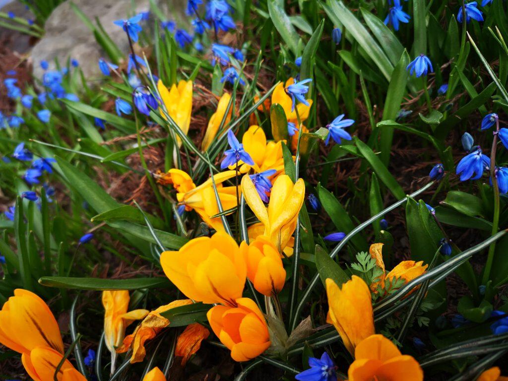 Gelbe Krokusse und blaue Blumen